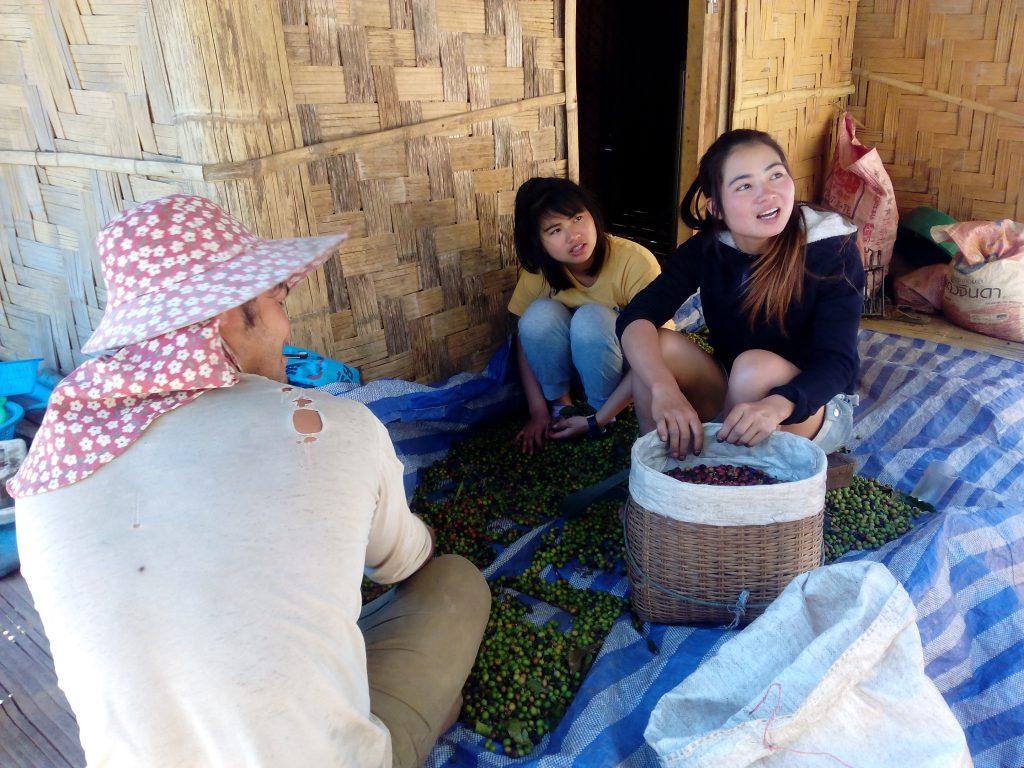 Mae Chang Luang,třídění bobulí kávy