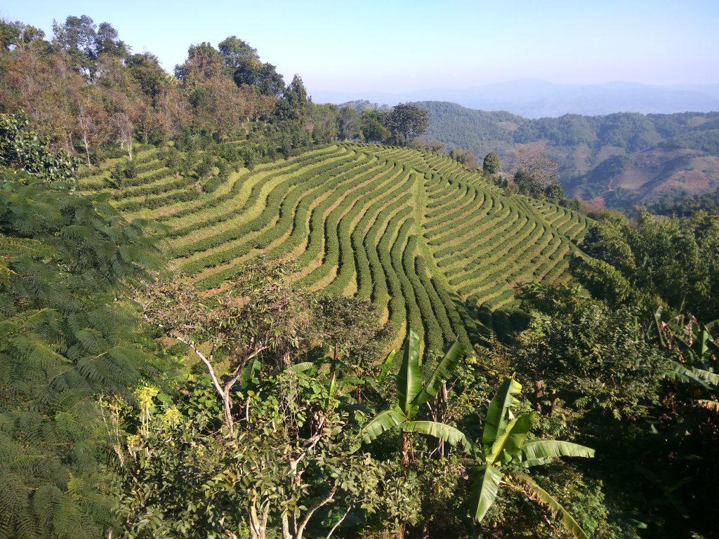 Maesalong Flower Hill Resort,čajové plantáže