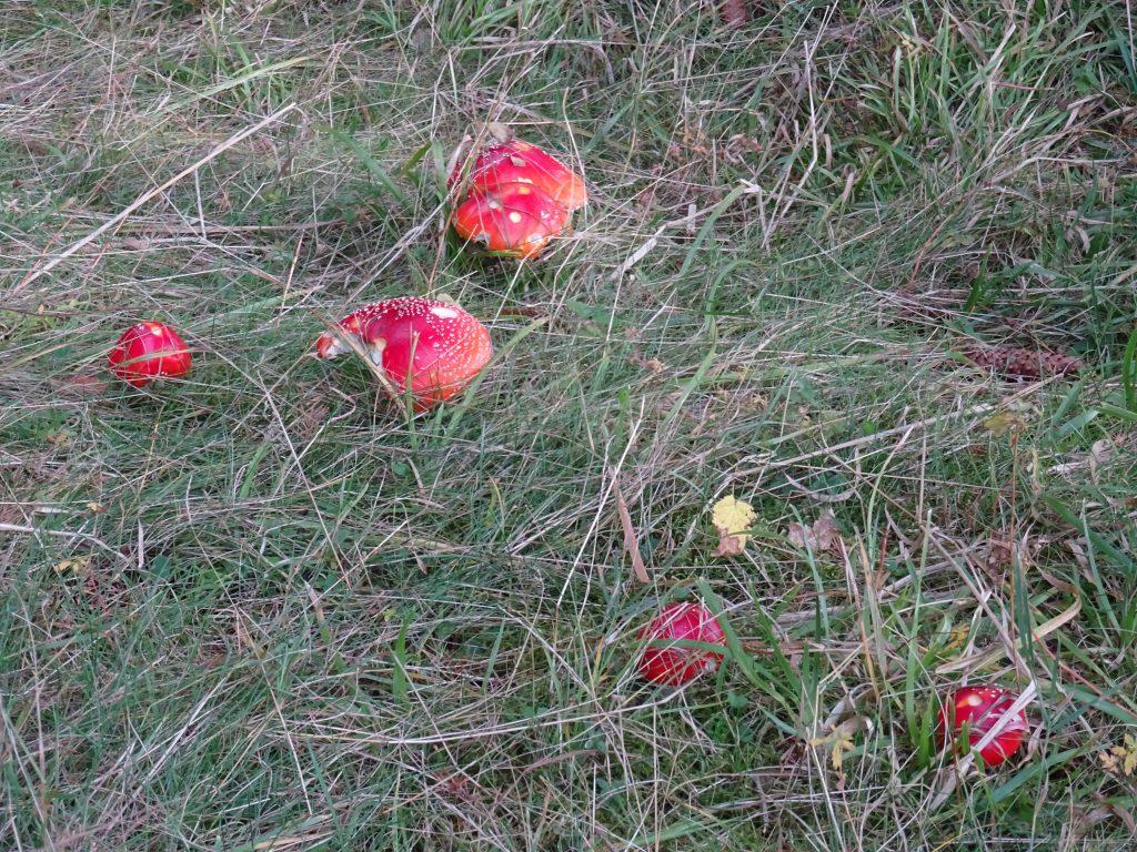 muchomůrky u rozcestníku Bukovina